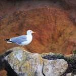 Berlengas archipelago Peniche main island Seagull
